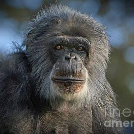 Jim Fitzpatrick - Portrait of an Elderly Chimp