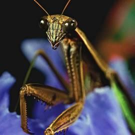 Leslie Crotty - Praying Mantis  Closeup Portrait 4  on Iris flower
