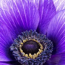 Mark Monckton - Purple Anemone