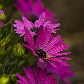 Saija  Lehtonen - Purple Daisies