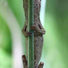 Brandon Alms - Pygmy chameleon