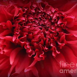 Photographic Art and Design by Dora Sofia Caputo - Radiant in Red - Dahlia