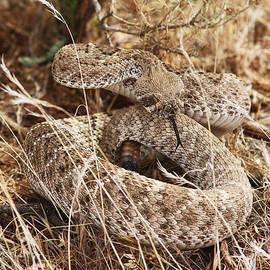 Tom Janca - Rattle Snake Western Diamond Back