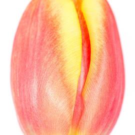 Mark Monckton - Red and Yellow Tulip