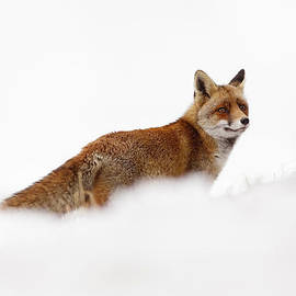 Roeselien Raimond - Red Fox in a White World