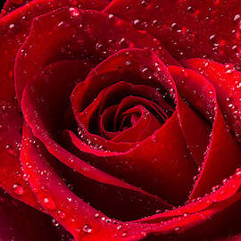 Garry Gay - Red Rose With Dew