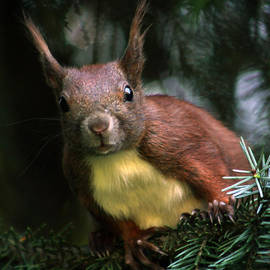 Colin Hunt - Red Squirrel