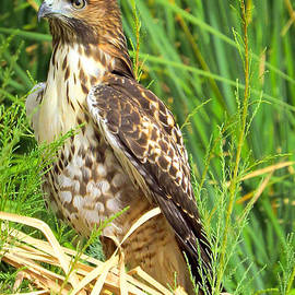 Ed  Cheremet - Red Tailed Hawk