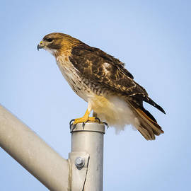 Ricky L Jones - Red Tailed Hawk