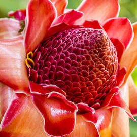 Kelly Headrick - Red torch ginger square