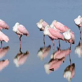 Bradford Martin - Roseate Spoonbills and reflections