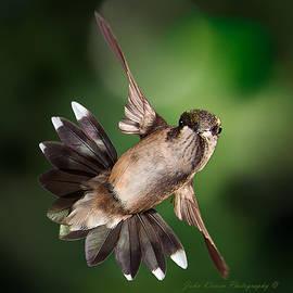 John Kirwin - Ruby Throat Humming Bird