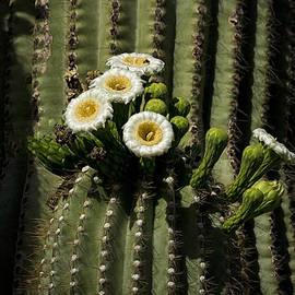 Saija  Lehtonen - Saguaro Cactus Blooms