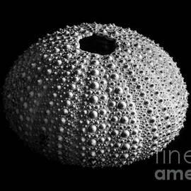 David Rucker - Sea Urchin