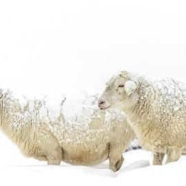 Thomas R Fletcher - Sheep in Snow