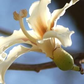 Meeli Sonn - Silky tree