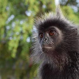 Puganes Kumar - Silverleaf Monkey