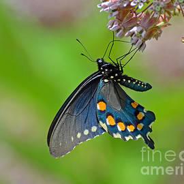 Rodney Campbell - Spicebush Swallowtail