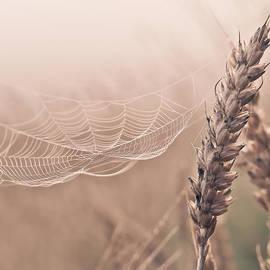 Aldona Pivoriene - Autumn spider web on grain