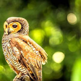 Jijo George - Spotted Owl