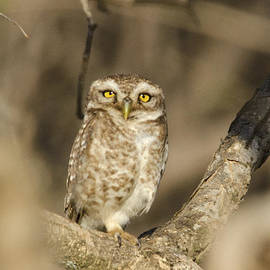 Pravine Chester - Spotted Owlet