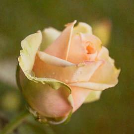 Arlene Carmel - Summer Rose