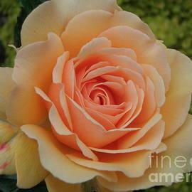 Nona Kumah - Summer Rose