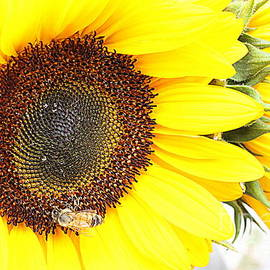 Photographic Art and Design by Dora Sofia Caputo - Sunflower Delight