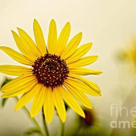 Gary Richards - Sunflower