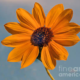 Robert Bales - Sunflower