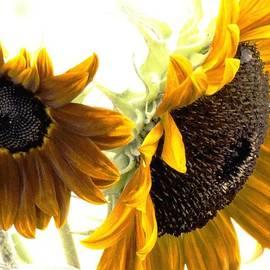 Karen  Majkrzak - Sunflower Still Life