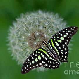 Bahadir Yeniceri - Tailed Jay Butterfly