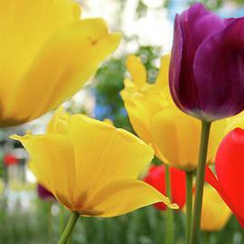 Mark Ashkenazi - Tulips