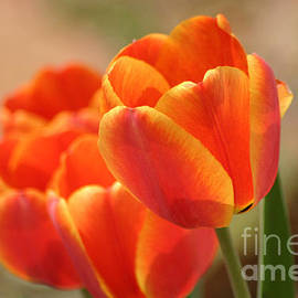 Living Color Photography Lorraine Lynch - Tulips On Fire