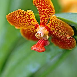 Winston D Munnings - Vanda Orchid