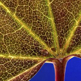 Jean Noren - Vine Maple Leaf close up
