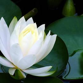 Bill Morgenstern - Water Lily