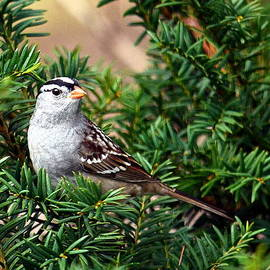 Jaunine Ammerman - White-capped Sparrow
