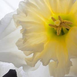 Kathryn Bell - White Daffodil