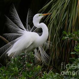 Myrna Bradshaw - White Egret Displaying