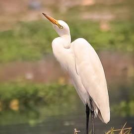 Vijay Sonar - White Egret