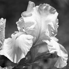 Elaine Mikkelstrup - White Iris