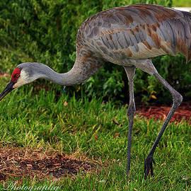 Norng Ti  - Whooping Crane