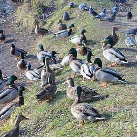 Evgeny Pisarev - Wild ducks
