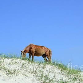 Allen Beatty - Wild Horses of Corolla