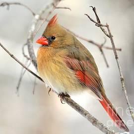 Charles Trinkle - Winter Cardinal