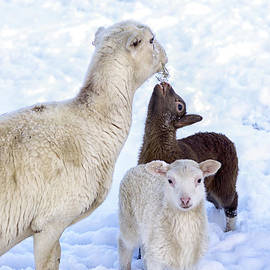 Thomas R Fletcher - Winter Lambs and Ewe