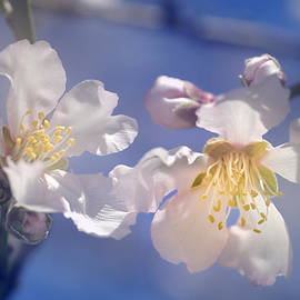 Guido Montanes Castillo - Winter spring Almond flowers