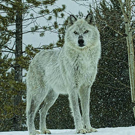 Steve McKinzie - Winters Wolf