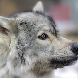 Dan Panattoni - WolfDogs Kaya